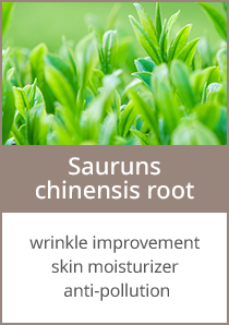 Sauruns chinensis root